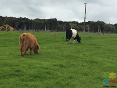 Belted galloway and Highland Hiefers