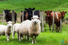 looking for a job opportunity on a sheep/beef or deer farm