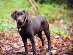Re-Homing - 2yo Purebred Labrador