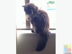 Chantilly Tiffany fluffy black cat