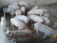 Cambrough and Large white piglets and pigs