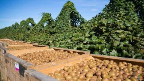 Kiwifruit - Summer Pruning