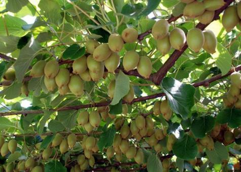 Jobs are available of kiwifruit in bay of plenty