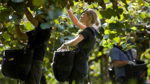We are looking for Kiwifruit Pickers for 2021 harvest season.