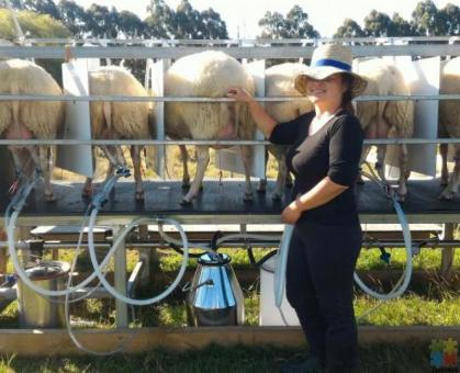 Sheep milking, New Zealander's next big thing