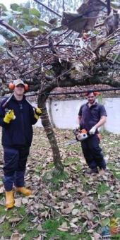Kiwifruit Chainsaw Operator