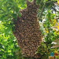 Bee Swarm - This season will see Bee Swarms in our communities.